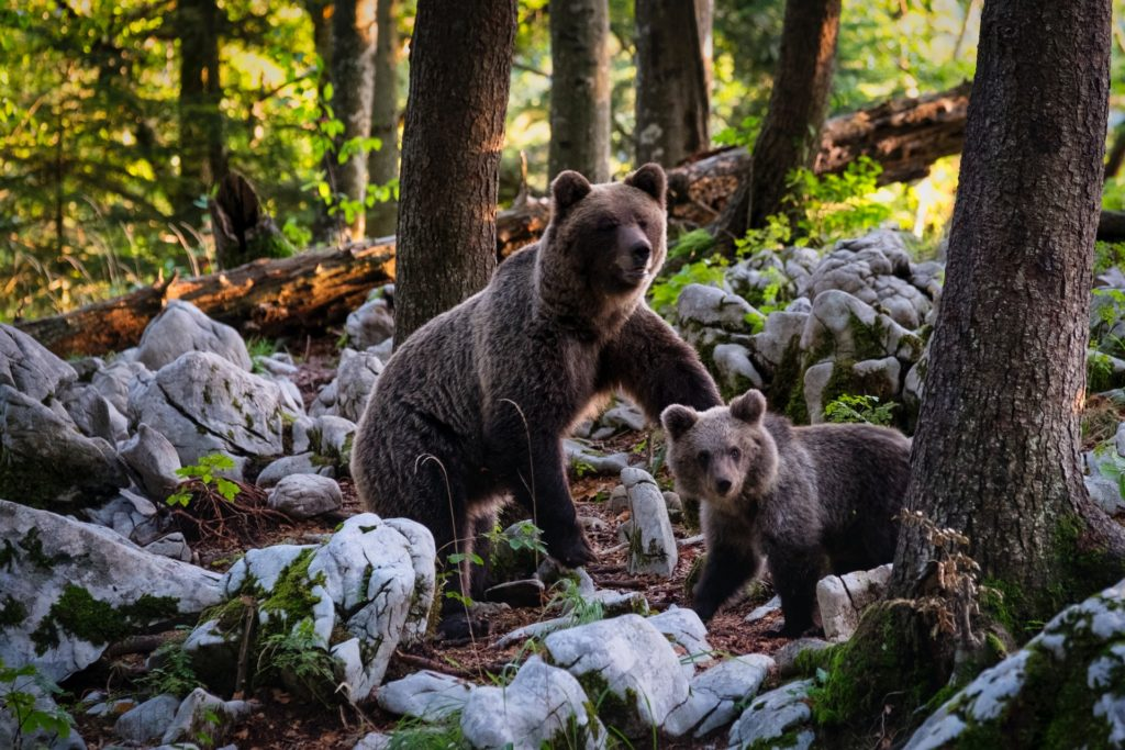 Brown bear mother and cub on rocks in trees, highlighting camping safety in state parks